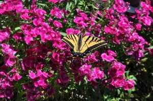Yellow Swallowtail on Dianthus (Sweet William)