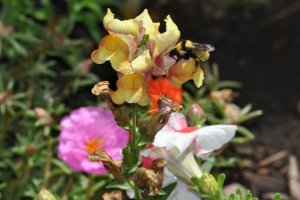 Bee on a Snap Dragon