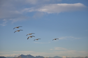 Geese Over Front Range, Colorado