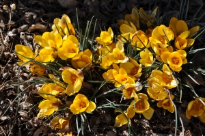 Crocus in full bloom