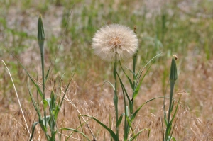 Dandelion = Abundance of Seeds