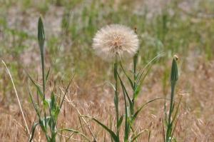 Dandelion = Abundance of Seeds