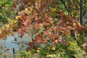 Oak Tree in Autumn - Beautiful to Behold!