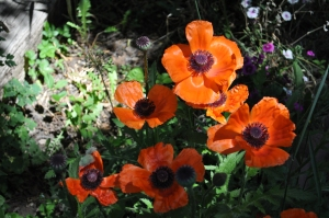 Light on Poppies