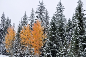 Fall Aspens & Evergreens