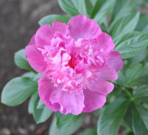 Peony in Full Blossom