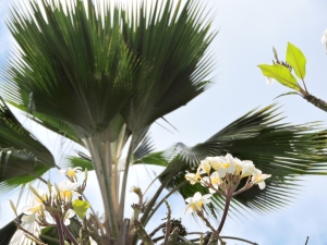 Plumeria with Palm Tree