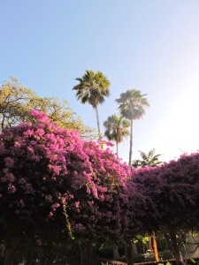 Bougainvillea with Palm Trees, early morning Waikiki