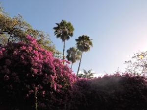 Bougainvillea with Palm Trees