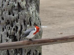 Red-Crested Cardinal - Beautiful Bird on Oahu, Hawaii