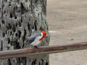 Red-Crested Cardinal - Beautiful Bird on Oahu, Hawaii
