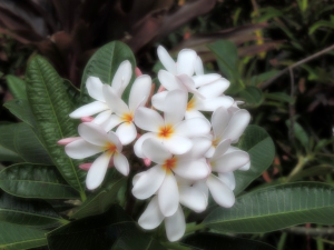 Plumeria (leis usually made from this)