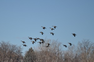 Geese Landing - Set Your Wings!
