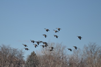 Geese Landing - Set Your Wings!